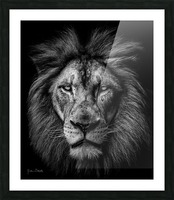 A Lion in Black & White Picture Frame print