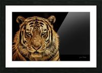 Massive Siberian Amur Tiger  Picture Frame print