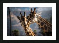 Loving Giraffes Picture Frame print