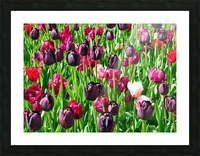 Field of Tulips Picture Frame print