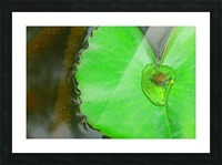 Lily Pad Picture Frame print