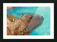 Spiny-Tailed Iguana Picture Frame print