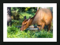 Baby Elk Picture Frame print