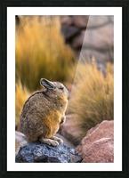 Viscacha Picture Frame print