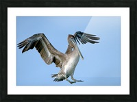Arriving: Brown Pelican  2509 Picture Frame print