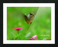Ruby throated hummingbird Picture Frame print