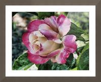 Lavender Rose Picture Frame print