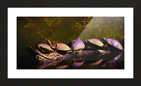 Freshwater Turtles Watercolor Picture Frame print