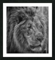 Artistic black and white Lion Picture Frame print