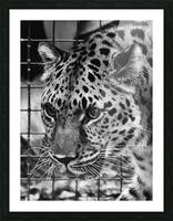 Leopard in Black & White Picture Frame print