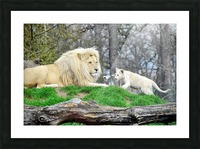 White Lion with Baby Picture Frame print
