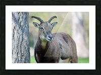 Mouflon in the Forest Portrait Picture Frame print