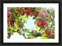 Apples Orchard- Harvest Picture Frame print