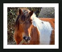 Assateague Pony Ms Macky Picture Frame print
