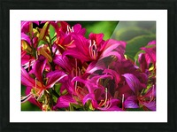 Hong Kong Orchid Picture Frame print