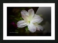 White Azalea  Picture Frame print