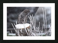 Great Grey Owl - Hunting at sunset.   Alberta Canada Picture Frame print