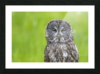 Great Grey Owl - Grey on Green Picture Frame print