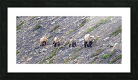 Grizzly Bear Family - Walk this way.  Kananaskis Country Alberta. Canada Picture Frame print