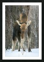 Mr. Moose Picture Frame print