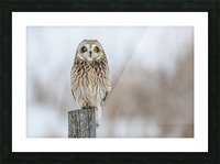 Short Eared Owl - Wink Picture Frame print