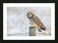 Short Eared Owl - Just an Itch Picture Frame print
