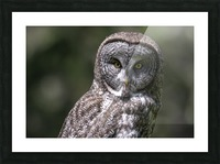 Great Grey Owl - Up close Picture Frame print