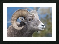 Big Horn Sheep - Portrait Picture Frame print