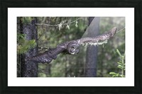 Great Grey Owl - Wing Span Picture Frame print