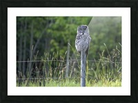 Great Grey Owl - Henry Picture Frame print