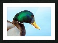 Drake Mallard Portrait II Picture Frame print
