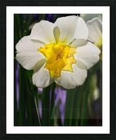 White Daffodil Picture Frame print