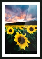 Sunflower Sunset Picture Frame print