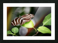 Stripped Butterfly Picture Frame print