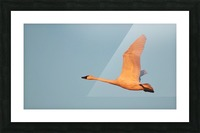 Tundra Swan Picture Frame print