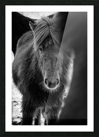 Icelandic Foal Picture Frame print