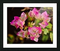 Bougainvillea Picture Frame print