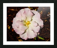 Pink Rose 2 Picture Frame print