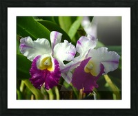Purple And White Orchids Picture Frame print