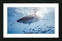 Great White Dive Picture Frame print