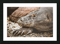 The Komodo Dragon  Picture Frame print