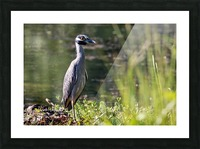 Yellow crowned Night Heron at Brick Pond Park 4690 Picture Frame print
