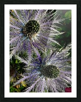 Sea Holly Picture Frame print