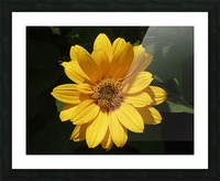 Yellow Zinnia Picture Frame print