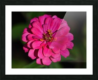 Zinnia Picture Frame print