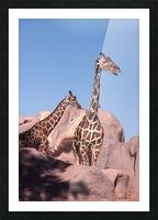 Giraffe Photograph Picture Frame print