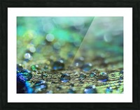 Shimmering Peacock Feather Picture Frame print