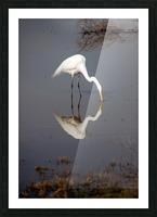 The Kiss White Egret Picture Frame print