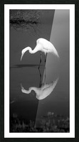 Who Are You White Egret BW Picture Frame print