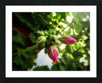 Red buds covered in green Picture Frame print